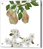 Pears And Pear Blossoms Acrylic Print