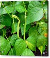 Peas Growing On The Farm 1 Acrylic Print