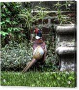 Peasant Pheasant Acrylic Print