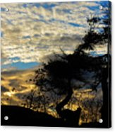 Pebbles Beach Pine Tree Acrylic Print