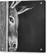 Peek-a-boo Burro Acrylic Print