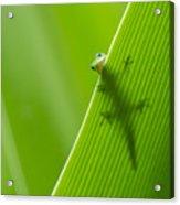 Peek A Boo Gecko Acrylic Print