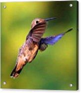 Peek-a-boo Hummingbird Acrylic Print