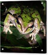 Peek A Boo Pacific Tree Frog Acrylic Print