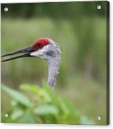 Peek-a-boo Sandhill Crane Acrylic Print