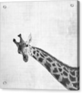 Peekaboo Giraffe Acrylic Print