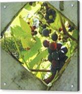 Peeking At Grapes Acrylic Print
