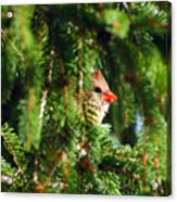 Peeking From The Pines Acrylic Print