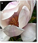 Peeking Magnolia Acrylic Print