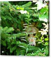 Peeking Out Wolf Acrylic Print