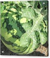 Peeking Watermelon Acrylic Print