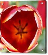 Peeling Tulip  Acrylic Print