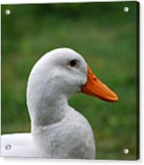 Pekin Duck 20120507_142 Acrylic Print