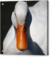 Pekin Duck 20130512_168 Acrylic Print