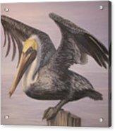 Pelican 2 Wings Spread Acrylic Print