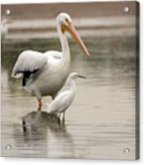 Pelican And Snowy Egret 6459-113017-1cr Acrylic Print