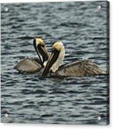 Pelican Couple Acrylic Print