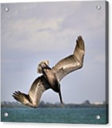 Pelican Diving For Dinner Acrylic Print