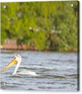 Pelican Drifting Along Acrylic Print