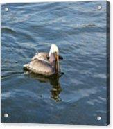 Pelican Eating Dinner Acrylic Print