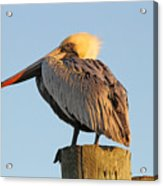 Pelican Feathers Acrylic Print