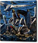 Pelican Fiesta Acrylic Print