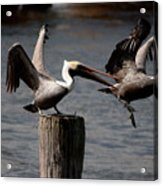 Pelican Fight Acrylic Print