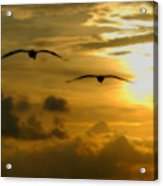 Pelican Flight Into The Clouds Acrylic Print