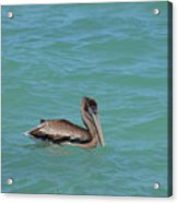 Pelican Floating In The Tropical Waters In Aruba Acrylic Print
