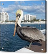 Pelican -florida Acrylic Print