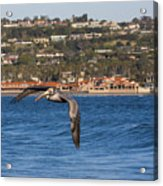 Pelican Flying Above The Pacific Ocean Acrylic Print