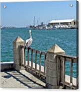 Pelican Gazing At Port Canaveral In Florida Acrylic Print