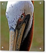 Pelican Head Acrylic Print