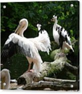 Pelican Hideaway Acrylic Print
