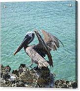 Pelican In Aruba Landing On Lava Rock Acrylic Print