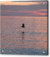 Pelican In Flight At Dawn Acrylic Print