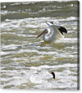 Pelican Landing And Cormorants Acrylic Print