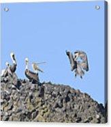 Pelican Landing On A Rock Acrylic Print