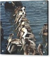 Pelican Line Acrylic Print