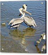 Pelican Love Acrylic Print