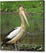 Pelican Mudmasks Acrylic Print