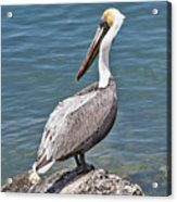 Pelican On Rock Acrylic Print