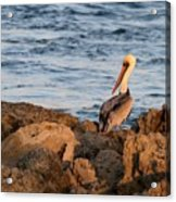 Pelican On The Rocks Acrylic Print