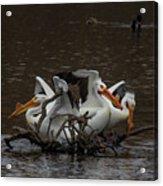 Pelican Party Acrylic Print
