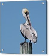 Pelican Side Pose Acrylic Print