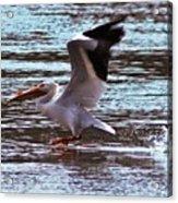 Pelican Skimming The Rock River Acrylic Print