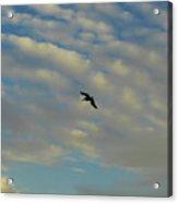 Pelican Soaring At Sunset Acrylic Print