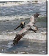 Pelican Soaring  Acrylic Print