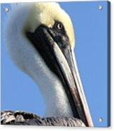Pelican Soft Acrylic Print