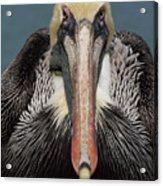 Pelican Stare Acrylic Print